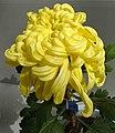 菊花-翻卷型 Chrysanthemum morifolium Curlies-ribbon-series -上海共青森林公園 Shanghai, China- (9213339913).jpg