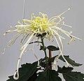 菊花-飛舞型 Chrysanthemum morifolium Dancing-tubular-series -上海共青森林公園 Shanghai, China- (9252461753).jpg