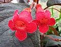 角桐草屬 Kohleria eriantha -哥本哈根大學植物園 Copenhagen University Botanical Garden- (36598950710).jpg