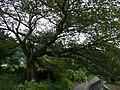 赤穂市尾崎 「あじ桜」 - panoramio - mikeneko.jpg