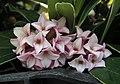 金邊瑞香 Daphne odora -香港維園花市 Victoria Park Flower Market, Hong Kong- (9190650631).jpg