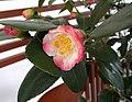 雲南山茶-半重瓣 Camellia reticulata Semi-double Form -深圳園博園茶花展 Shenzhen Camellia Show, China- (9193426644).jpg