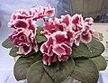 非洲紫羅蘭 Saintpaulia Frosty Cherry -香港花展 Hong Kong Flower Show- (13220163575).jpg