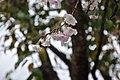 시월의 벚꽃 Lexington Woods Alpharetta GA - panoramio.jpg