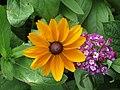 -2020-09-10 Flower of a Rudbeckia (Rudbeckia hirta), Trimingham (1).JPG