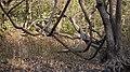 ... liane at Yeoor Hills (5461757835).jpg