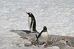 00 123 2304 Antarktis - Pinguine.jpg
