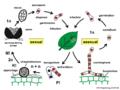 04 03 19 life cycle, Erysiphales, Ascomycota (M. Piepenbring).png