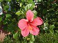 0931jfHibiscus rosa sinensis Linn White Pinkfvf 02.jpg