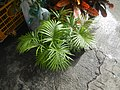 0998Ornamental plants in the Philippines 50.jpg