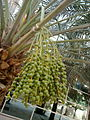 0 dates palm with dates in kuwait by irvin caliicut (2).jpg