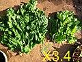 13. Urine trial on spinach (5621514187).jpg