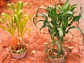 15. Early maize trial with urine (5622103302).jpg