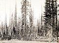 1930. Lodgepole pine. Scolytidae. Dendroctonus monticolae Hopk. damage. Crater Lake National Park. (38221467461).jpg