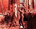 1939. Fallers working on burned tree. Rhyne operation. Tillamook Burn, Oregon. (34888155351).jpg