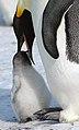 2007 Snow-Hill-Island Luyten-De-Hauwere-Emperor-Penguin-27.jpg