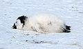 2007 Snow-Hill-Island Luyten-De-Hauwere-Emperor-Penguin-34.jpg