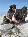 2009 Kemp's ridley sea turtle project at Padre Island National Seashore (af309761-95e5-4f2e-83b2-e14f397a5672).jpg