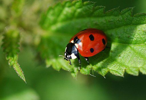 2010-09-11 (2) Siebenpunkt, Seven-spot Ladybird, Coccinella septempunctata--180°-mirr-cropped