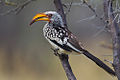 2012-yellow-billed-hornbill-etosha.jpg