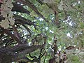 20120915Quercus robur Fastigiata2.jpg