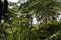 2013.10.31.113348 Hapuu pulu tree fern (Cibotium glaucum) Hawaii Volcanoes National Park Hawaii.jpg