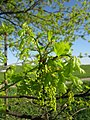 20130425Eiche Hockenheim02.jpg