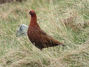 Red grouse - Image: 2014 04 21 Lagopus lagopus scotica, Hawsen Burn 1