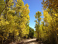 2014-10-04 12 57 27 View of Aspens during autumn leaf coloration along Charleston-Jarbidge Road (Elko County Route 748) in Copper Basin about 6.6 miles north of Charleston, Nevada.JPG
