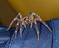 2014.08.29.-2-Mannheim Vogelstang--Kraeuseljagdspinne-Zoropsis spinimana-Weibchen.jpg