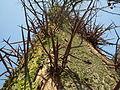20140313Gleditsia triacanthos2.jpg