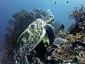 2014 11 Moalboal 37 turtle with 2 hitchikers (15862666838).jpg