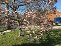 2015-04-12 17 17 12 Saucer Magnolia blossoms on Princeton Avenue in Lawrence, New Jersey.jpg