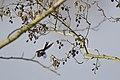 20150323 002 Kessel Weerdbeemden Staartmees, Long-tailed Tit, Schwanzmeise, Aegithalos caudatus (16286864513).jpg
