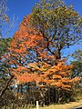 2016-10-25 13 03 25 Sugar Maple with autumn foliage at the Browntown Valley Overlook along Shenandoah National Park's Skyline Drive in Warren County, Virginia.jpg