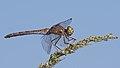 2016.09.09.-09-Anglersee Bruehl--Grosse Heidelibelle-Weibchen.jpg