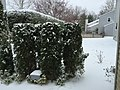 2017-03-14 09 23 34 Emerald Green Arborvitae coated in snow and ice pellets along Tranquility Court in the Franklin Farm section of Oak Hill, Fairfax County, Virginia.jpg