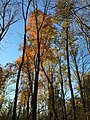 2017-11-10 16 13 06 View up into the canopy of several trees during late autumn within Hosepen Run Stream Valley Park in Oak Hill, Fairfax County, Virginia.jpg