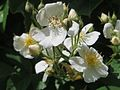 20170521Rosa multiflora2.jpg