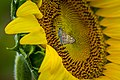 20170716-PJK-Sunflowers-0240TONED 1 (35927267336).jpg