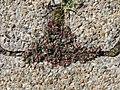 20170822Euphorbia maculata13.jpg