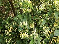 2019-05-23 13 52 22 Japanese Honeysuckle blooming along Old Dairy Road in the Franklin Farm section of Oak Hill, Fairfax County, Virginia.jpg