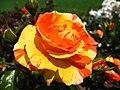 4484 - Bern - Rosengarten - Rose.JPG