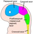 4 week embryo brain-ru.png