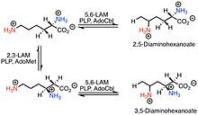 5,6-LAM Catalyzed Reactions of Lysin.jpeg