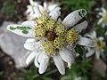 5675 - Schynige Platte - Leontopodium alpinum.JPG