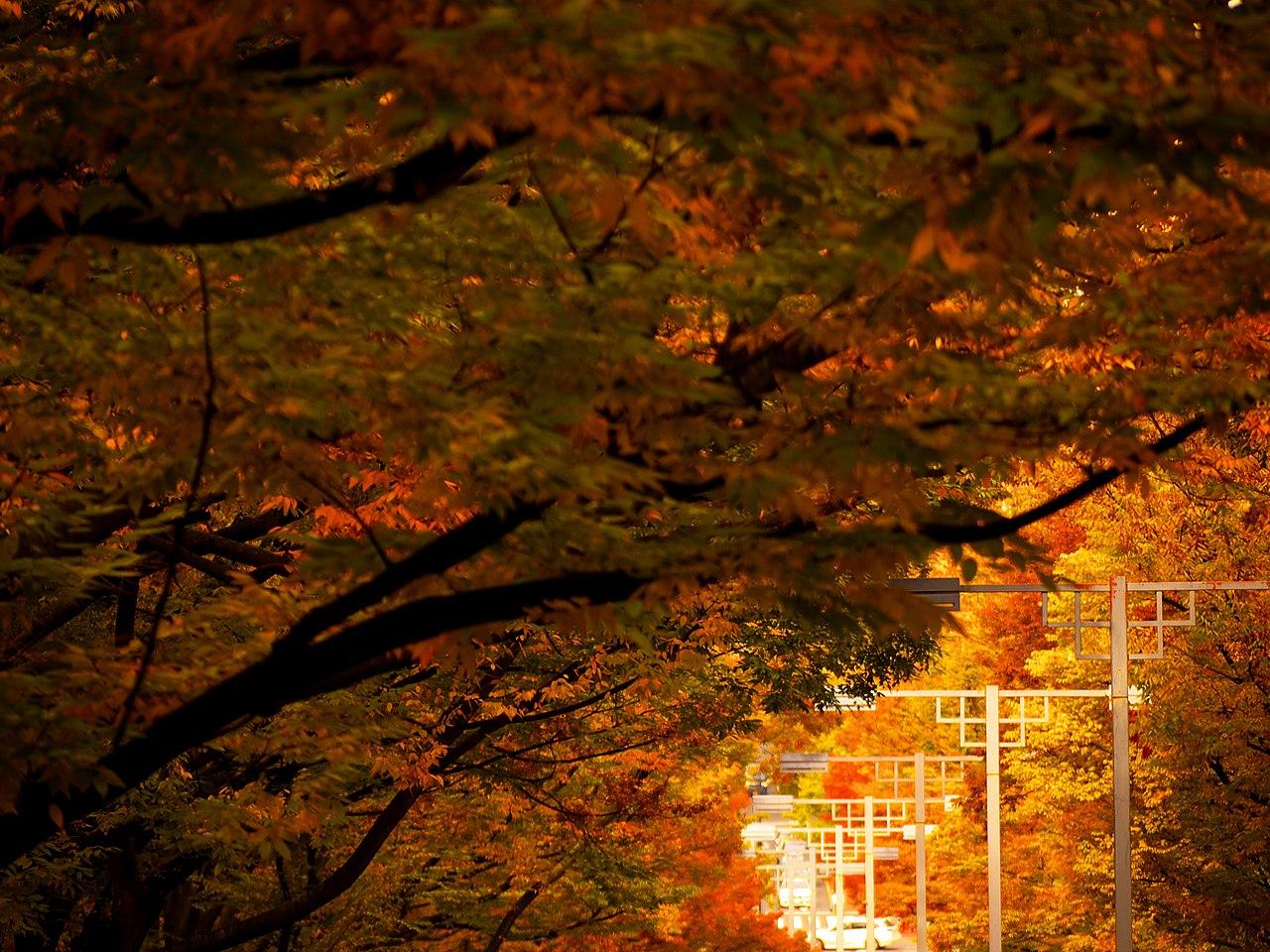 Ginkgo biloba, Shibuya-ku, Tokio (Japón). /Imagen: Wikipedia.