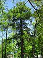 834. modrzew gdańsk oliwa2.jpg