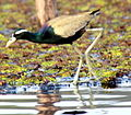 A Bronze Winged Jacana.JPG