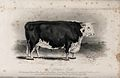 A Hereford bull. Etching by E. Hacker, ca 1849, after W.H. D Wellcome V0021636.jpg
